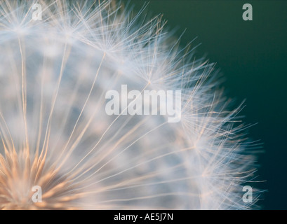 Extreme closeup of a quarter of a dandelion showing delicate fuzzy tendrils growing out of the center of the seed - Stock Photo