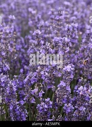 Lordington Lavender farm, Sussex, UK - Stock Photo