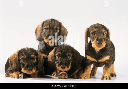 four wire-haired dachshund dog puppies - cut out - Stock Photo