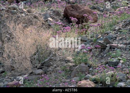 Notch leaved Phacelia Phacelia Crenulata desert wildflowers bloom in spring Death Valley National Park California - Stock Photo