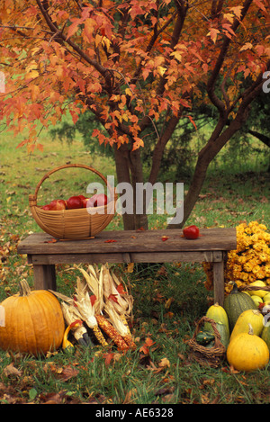 Garden harvest of homegrown produce on bench by orange fall maple tree with woven basket full of apples, Missouri - Stock Photo