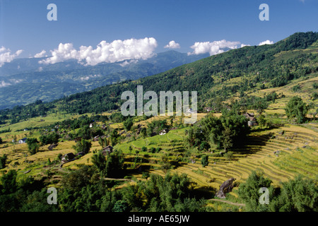 RICE MILLET are the main crops grown in the lower middle hills on route to MAKALU EASTERN NEPAL - Stock Photo