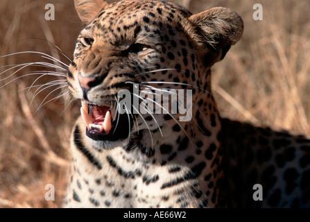 Leopard, Namibia / (Panthera pardus) - Stock Photo