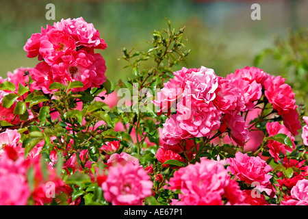 Glorious roses - Stock Photo
