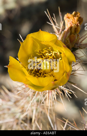 Buckhorn Cholla Cylindropuntia acanthocarpa flower Sonoran Desert near Tucson Arizona - Stock Photo