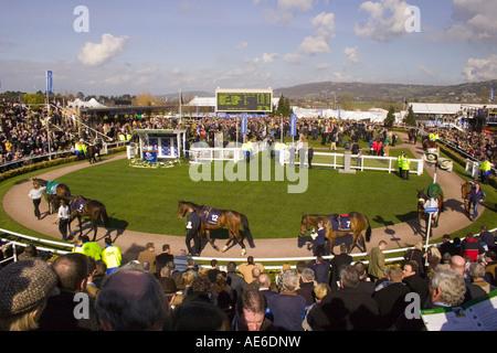 Horses being  paraded in the  ring Cheltenham Festival - Stock Photo