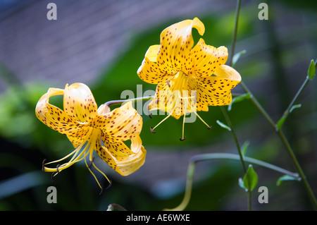 Yellow flower in walled city garden Stock Photo