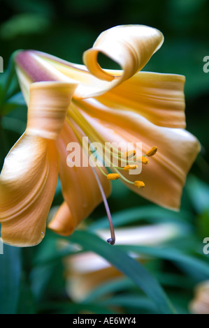 close up of tiger lily in walled garden Stock Photo