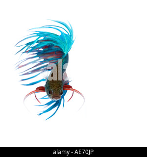 Turquoise and Red Crown Betta fish displaying elaborate fin detail and flowing tail spinning movement face on - Stock Photo