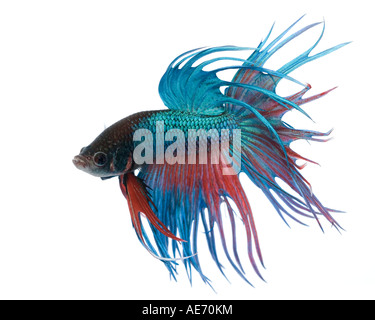 Turquoise and Red Crown Betta fish displaying elaborate fins and gesturing with tail fully expanded facing left - Stock Photo
