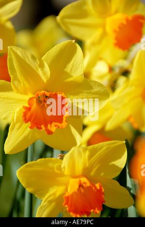 Spring flowers Botanical Gardens Sheffield South Yorkshire U K - Stock Photo