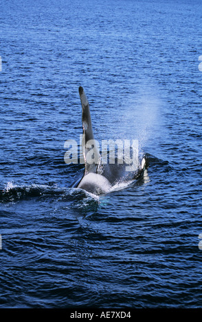Bull orca in the Inside Passage BC - Stock Photo