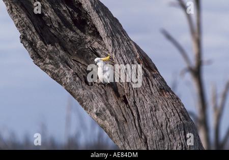 Sulphur-crested cockatoo in dead eucalypt tree used for nesting Australia, - Stock Photo