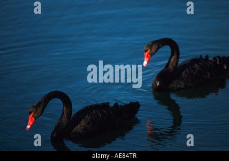 "Black swans,  ""South Australia"" - Stock Photo"