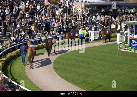 Horses being paraded at the Cheltenham Festival in the ring. - Stock Photo