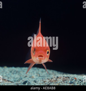 Goldfish head on - Stock Photo