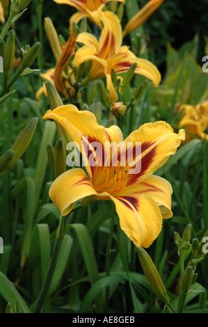 Hemerocallis Bonanza Day lily - Stock Photo