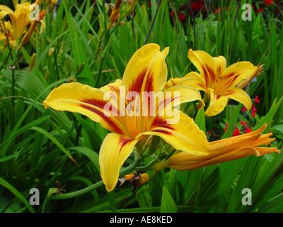 Hemerocallis Bonanza The Day Lily - Stock Photo