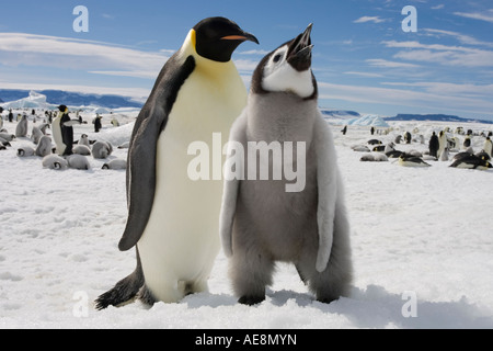 Antarctica Snow Hill Island Emperor Penguin and Chick Aptenodytes forsteri on frozen sea ice on sunny afternoon - Stock Photo