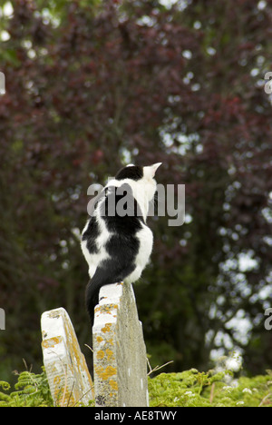 Black and white cat perched on a gravestone. - Stock Photo