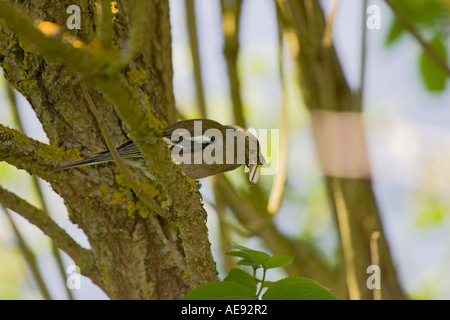 Female Chaffinch (Fringilla Coelebs) collecting insects in beak to feed chicks - Stock Photo