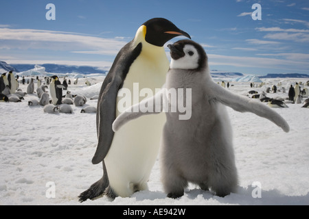 Antarctica Snow Hill Island Emperor Penguin and young chick Aptenodytes forsteri on frozen sea ice on sunny afternoon - Stock Photo