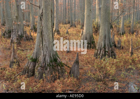 Bald cypress trees Taxodium distichum trees and cypress knees Heron Pond Cache River State Natural Area Illinois - Stock Photo