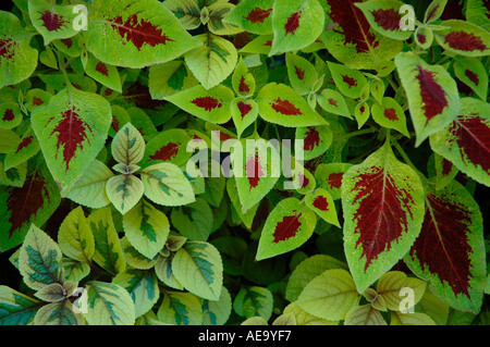 Coleus leaves - Stock Photo