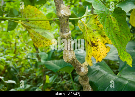 KAVA Piper methysticum fresh plant fiji Islands and leaves ritaul branch DRINK - Stock Photo