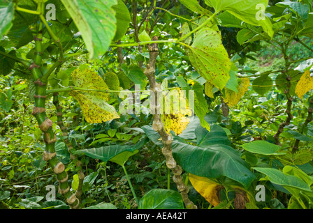 KAVA Piper methysticum fresh plant fiji Islands fruit bread fruit tree breadfruittree fruit and leaves - Stock Photo