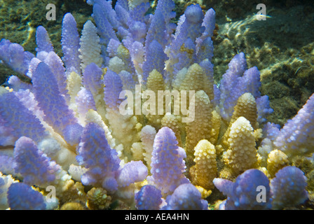 Blue Corals under the sea FIJI ISLANDS South southsea sea Pacific ocean underwater water wild wilderness coral reef - Stock Photo
