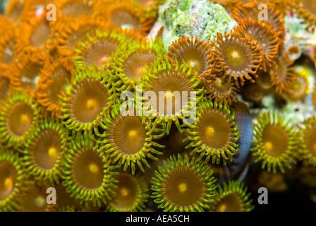 nettle Corals anemone under the sea FIJI ISLANDS South southsea sea Pacific ocean underwater water wild wilderness - Stock Photo