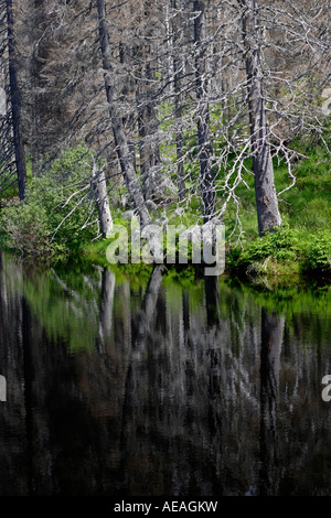 Dead trees mirrored in a lake in the Bavarian National Park - Stock Photo