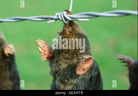 Moles caught and hung on a barbed wire fence, Cumbria, UK - Stock Photo
