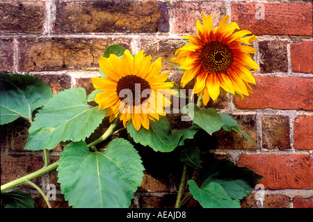 two 2 sunflowers against red brick wall dramatically lit graphic still life - Stock Photo