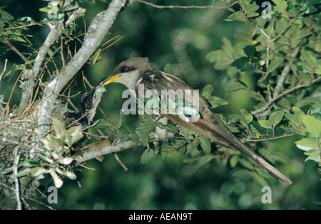 Yellow-billed Cuckoo Coccyzus americanus adult feeding young Welder Wildlife Refuge Sinton Texas USA June 2005 - Stock Photo