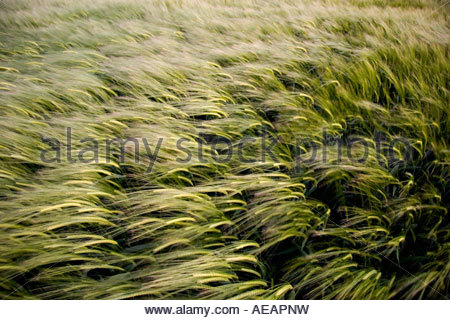 barley field blowing in the wind, in Gloucestershire, UK. - Stock Photo