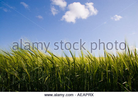 barley field, in Gloucestershire, UK. - Stock Photo