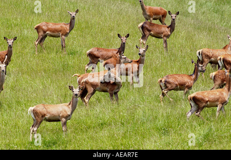 Deer in a meadow on North Island in New Zealand - Stock Photo