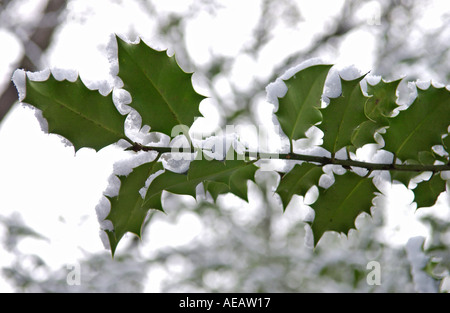 Snow covered holly branch Hampstead Heath London - Stock Photo