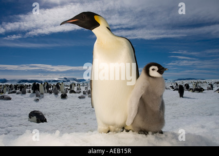 Antarctica Snow Hill Island Flash portrait of Emperor Penguin and Chick Aptenodytes forsteri on frozen sea ice - Stock Photo
