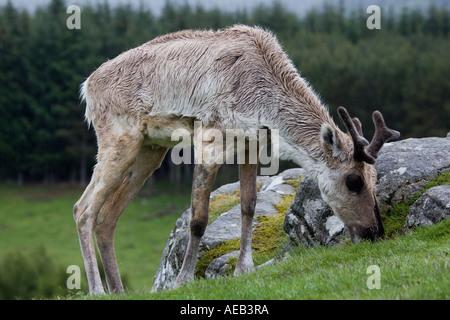 Forest reindeer grazing in rain Rangifer tarandus fennecus Highland Wildlife Park Scotland - Stock Photo