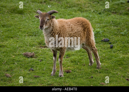 Soay sheep Ovis aries aries soay Highland Wildlife Park Scotland UK Originated from St Kilda in Outer Hebrides - Stock Photo
