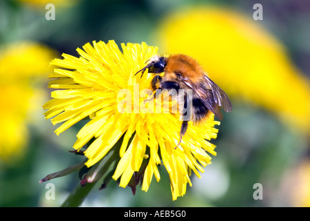 bumble-bee bumblebee bumble bees on a dandelion flower blossom bloom blooming plant spring suck nectar proboscis - Stock Photo