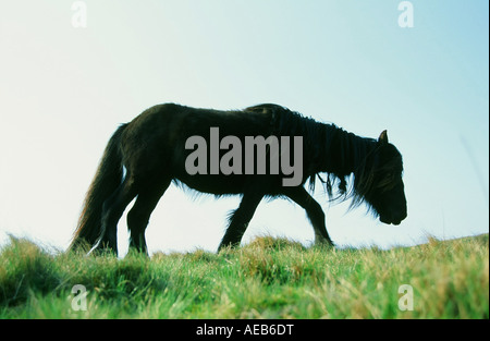 A wild fell pony on the North Pennines above Dufton, Cumbria, UK - Stock Photo