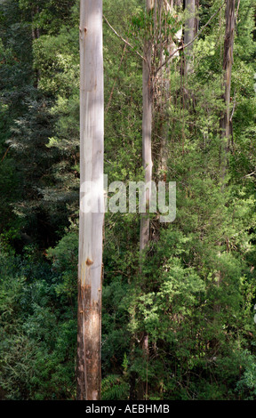 Gum tree at Otway Fly treetop Walk, Beech Forest, Victoria, Australia - Stock Photo