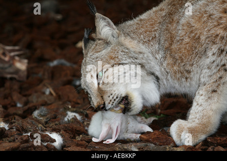 Wild animals in the zoo, a lynx - Stock Photo