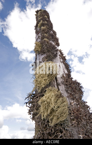 Iceland moss and Old Man's beard growing on a wooden pole. Lichens (Cetraria islandica et Usnea barbata) poussant - Stock Photo