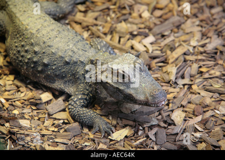 West African Dwarf Crocodile (Osteolaemus tetraspis tetraspis) - Stock Photo