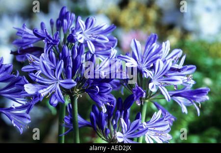 Agapanthus africanus - Stock Photo